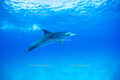 青い海の一頭のイルカの素材 [FYI00993421]