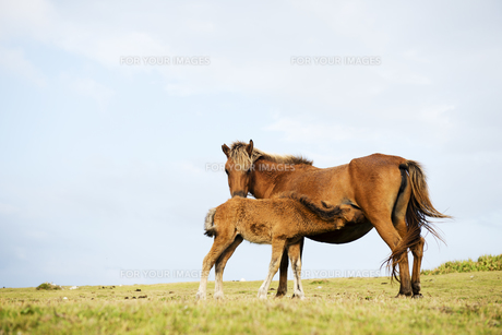 授乳中の与那国馬の親子の素材 [FYI00993460]