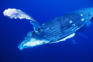 青い海を泳ぐザトウクジラの素材 [FYI00993629]