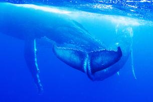親子のザトウクジラの素材 [FYI00993911]