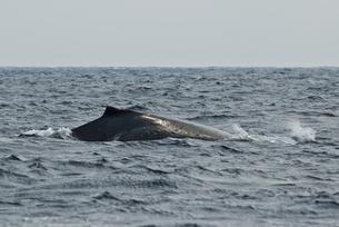 小笠原諸島 ザトウクジラの背中の素材 [FYI00995223]