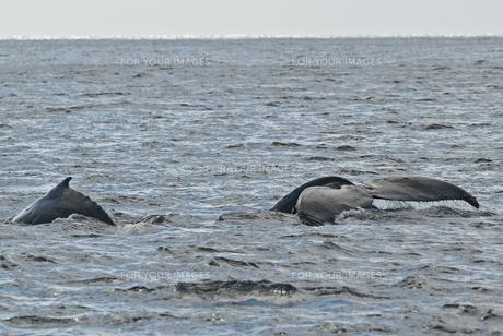 小笠原諸島 二頭のザトウクジラ 背中と尾びれの素材 [FYI00995302]