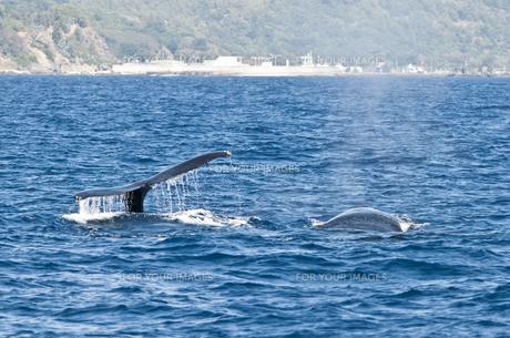 小笠原諸島 ザトウクジラの背中と尾びれ フルークアップダイブの素材 [FYI00995415]
