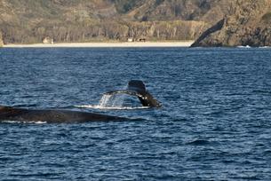 小笠原諸島 ザトウクジラの黒い尾びれと背中の素材 [FYI00995419]