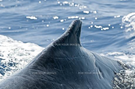 小笠原諸島 ザトウクジラの背中の素材 [FYI00995471]