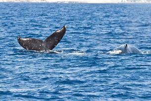小笠原諸島 ザトウクジラの背中と尾びれ フルークアップダイブの素材 [FYI00995672]