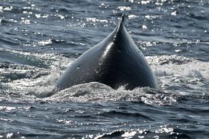 小笠原諸島 黒く輝くザトウクジラの背中の素材 [FYI00995681]