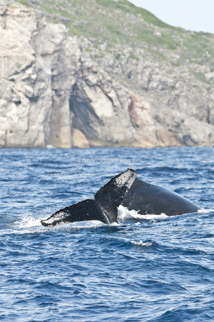 小笠原諸島 ザトウクジラの背中と尾びれの素材 [FYI00995691]