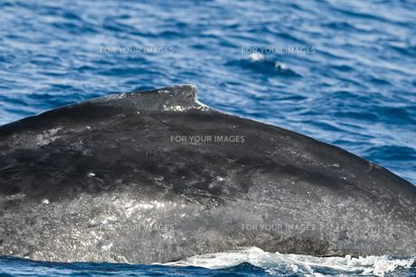 小笠原諸島 ザトウクジラの背中の素材 [FYI00995708]