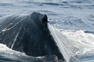 小笠原諸島 ザトウクジラの背中の素材 [FYI00995889]