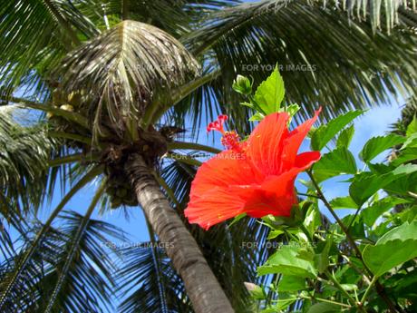 椰子の葉とハイビスカスの素材 [FYI00995961]