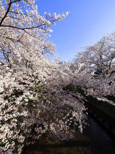 五条川の河川敷に咲き誇る桜の素材 [FYI00996016]