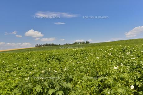 ジャガイモ畑の素材 [FYI00998899]
