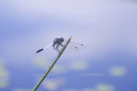 トンボ 清水公園の素材 [FYI00998953]