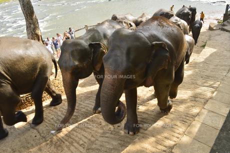 ピンナワラの象の孤児院の象の素材 [FYI01000080]