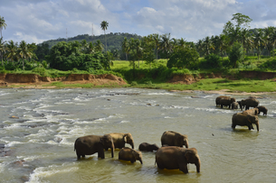 ピンナワラの象の孤児院 水浴びする象の素材 [FYI01000087]