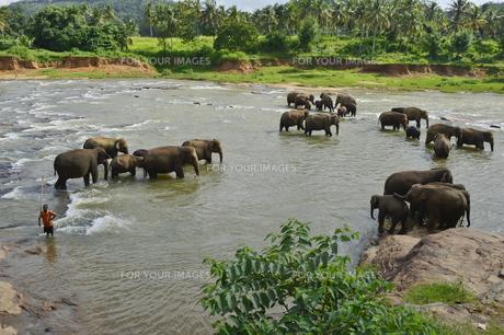 ピンナワラの象の孤児院 水浴びする象の素材 [FYI01000092]