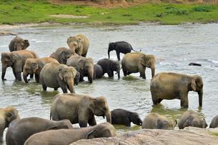 ピンナワラの象の孤児院 水浴びする象の素材 [FYI01000114]