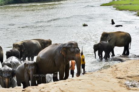 ピンナワラの象の孤児院 水浴びする象の素材 [FYI01000232]
