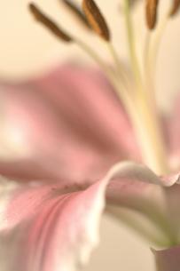 ピンクのユリの花クローズアップの素材 [FYI01003188]