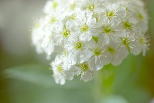 コデマリの花クローズアップの素材 [FYI01003203]