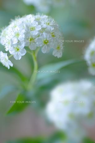 コデマリの花クローズアップの素材 [FYI01003252]