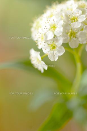 コデマリの花クローズアップの素材 [FYI01003262]