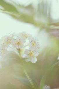 コデマリの花クローズアップの素材 [FYI01003284]