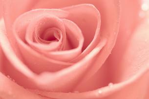 ピンクのバラの花びらクローズアップの素材 [FYI01003301]