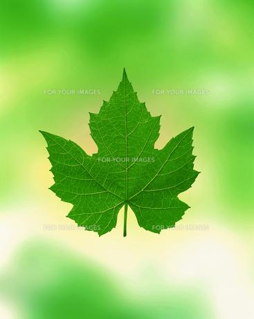 新緑イメージ 葉の素材 [FYI01003520]