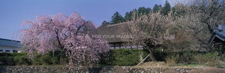 会津武家屋敷と花の咲いた木の素材 [FYI01004140]