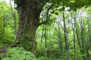 大トチの木の素材 [FYI01004309]