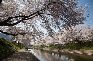新境川堤の桜並木の素材 [FYI01004465]