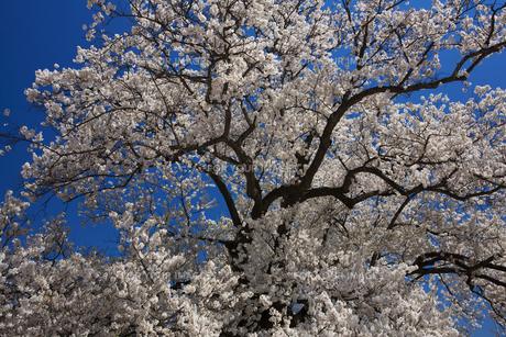 校庭のど真ん中に咲く桜の素材 [FYI01004804]