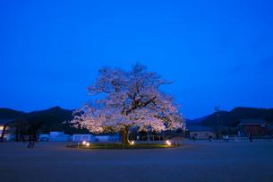 校庭のど真ん中に咲く桜 エドヒガンサクラの素材 [FYI01005922]