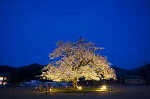 校庭のど真ん中に咲く桜 エドヒガンサクラの素材 [FYI01005928]