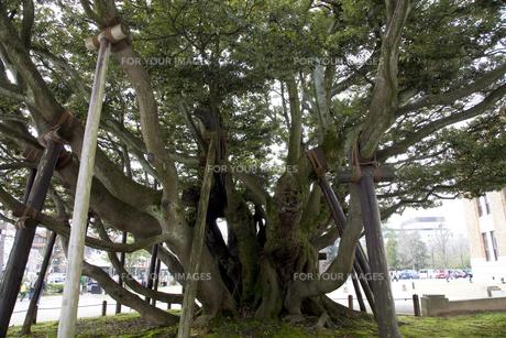 シイの木の素材 [FYI01006065]