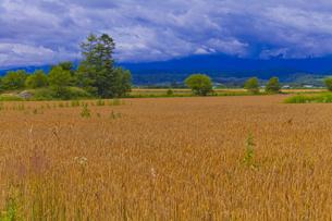 麓郷の麦畑の素材 [FYI01009262]