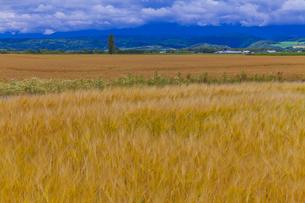 麓郷の麦畑の素材 [FYI01009271]