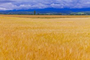 麓郷の麦畑の素材 [FYI01009345]
