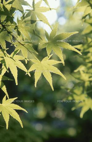 新緑のモミジの素材 [FYI01012137]