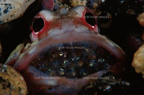 ジョーフィッシュの口内保育の素材 [FYI01013904]