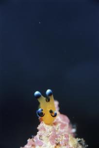 ウデフリツノザヤウミウシのアップの素材 [FYI01014013]
