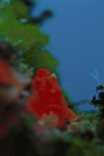 海中のイロイザリウオの素材 [FYI01014032]