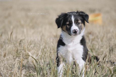 ボーダーコリーの子犬の素材 [FYI01014039]