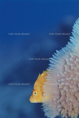 海中のオキゴンベのアップの素材 [FYI01014275]