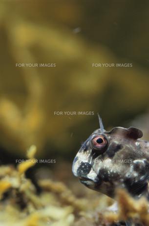 カエルウオの素材 [FYI01014377]
