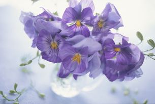 紫のパンジーの素材 [FYI01014408]