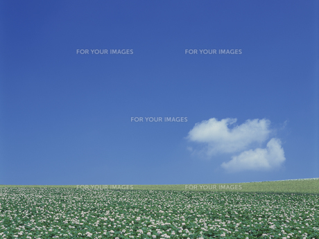 青空とジャガイモ畑の素材 [FYI01015494]