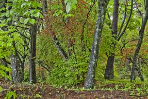 雨上がりの新緑の林の素材 [FYI01015898]